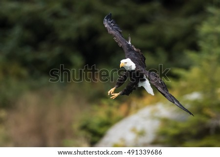 Bald Eagle (Haliaeetus leucocephalus) is flying to grab some food.