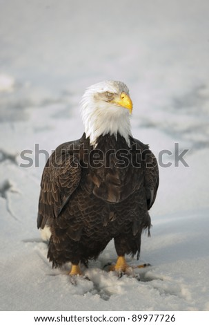 Bald Eagle (Haliaeetus leucocephalus) sitting on a snow. Alaska.