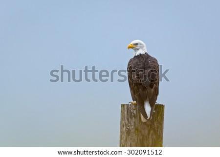 Bald Eagle (Haliaeetus leucocephalus washingtoniensis) perched on a post. Vancouver, British Columbia, Canada, North America. - stock photo