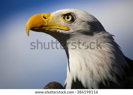 Bald Eagle Head - stock photo