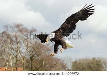 Bald Eagle heading down. A majestic bald eagle heads down to ground. - stock photo