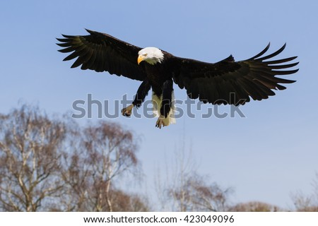 Bald Eagle homing in. A magnificent bald eagle spreads it wings as it homes in on the target. - stock photo