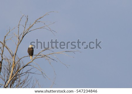 Bald eagle in a cottonwood tree at Rocky Mountain Arsenal National Wildlife Refuge in suburban Denver, Colorado, near Denver International Airport.