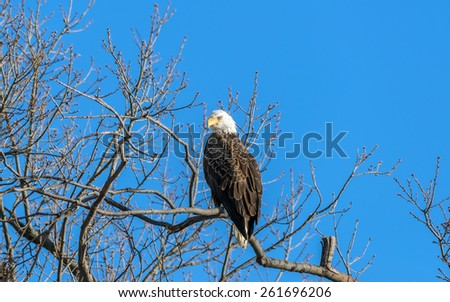 Bald Eagle in a tree near the Chesapeake bay in Maryland - stock photo