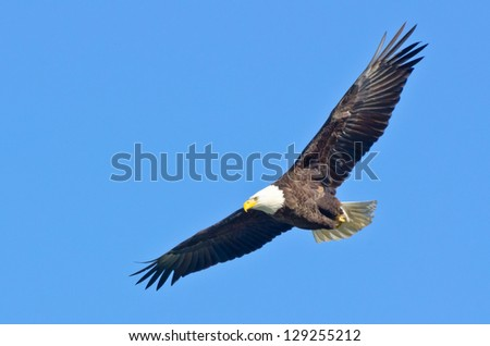 Bald Eagle in Flight - stock photo