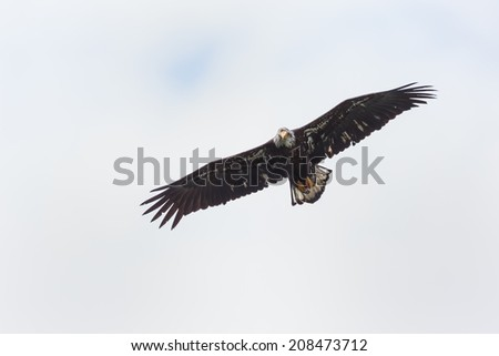 Bald eagle in flight in the rocky mountains - stock photo