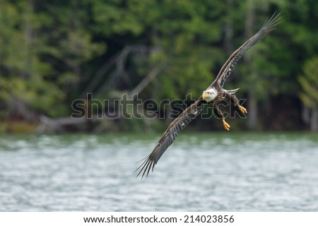 Bald eagle in flight over a lake at Canada - stock photo