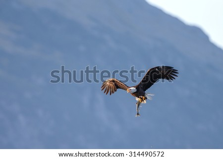 Bald eagle in flight with a catch - stock photo