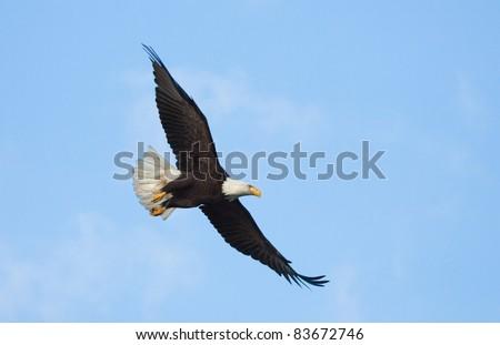 Bald Eagle in Flight with Blue Sky. Alaska - stock photo
