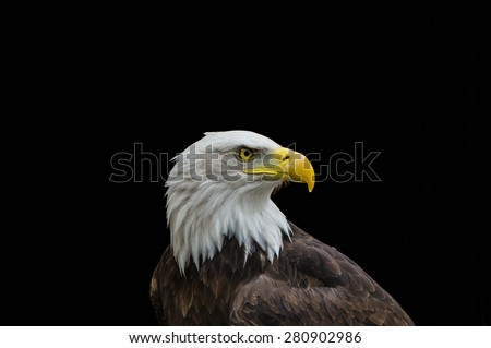 Bald eagle in profile isolated on black background ready for caption - stock photo