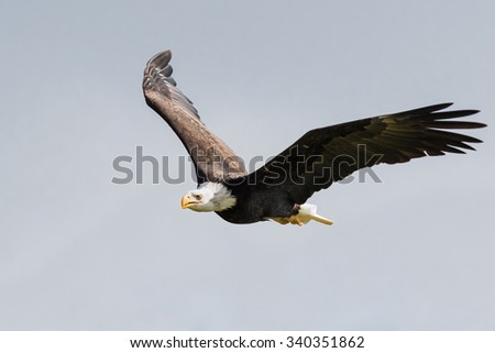Bald eagle in the air. A magnificent bald eagle flies along with wings raised. - stock photo