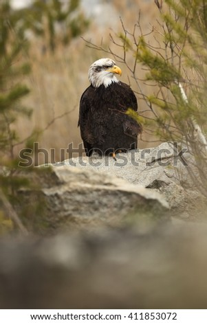 Bald Eagle is a large bird of prey living in North America. It is the national bird and symbol of the State of the United States. It is found in most of Canada and Alaska and United States. - stock photo