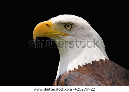 Bald Eagle Isolated