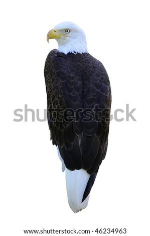 Bald Eagle Isolated on White Background - stock photo