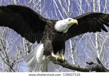Bald Eagle landing on a tree branch - stock photo