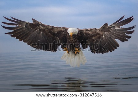 Bald Eagle Landing over Water - stock photo