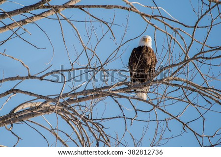 Bald eagle looking at the photographer. - stock photo