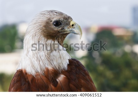 Bald eagle on black. birds of prey. Eagle eyes. Eagle sitting in apartment balcony. Cause of deforestation, unsafe nesting place in city. Predator and scavenger bird. Indian/India wildlife bird sharp - stock photo