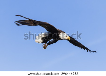 Bald Eagle on the lookout. A magnificent bald eagle keeps its eyes peeled as it soars through the sky. - stock photo