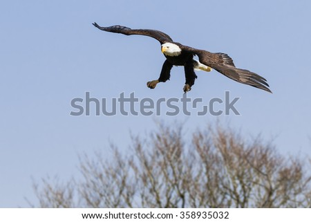 Bald eagle over the trees. A majestic bald eagle skims over a group of trees as it prepares to land. - stock photo