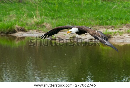 Bald Eagle over the water - stock photo