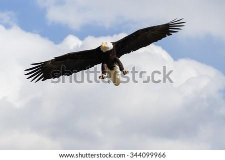 Bald Eagle overhead. A magnificent bald eagle hangs overhead as it prepares to descend. - stock photo