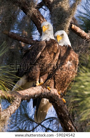 Bald Eagle Pair Sitting in Pine Tree - stock photo