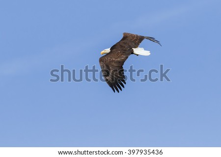 Bald Eagle passing. A majestic bald eagle flies along in front of the camera. - stock photo