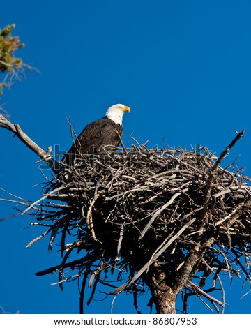 Bald eagle perch on is nest - stock photo