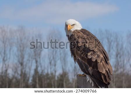 Bald Eagle Perched - stock photo