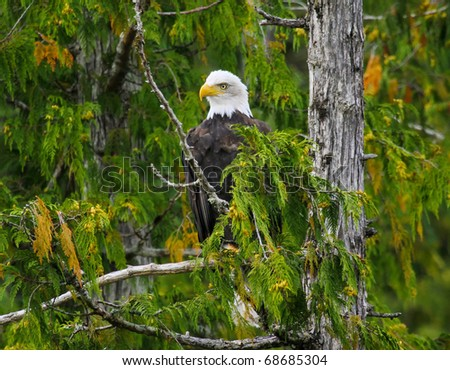 Bald Eagle perched in tree, Misty Fjords, Alaska - stock photo