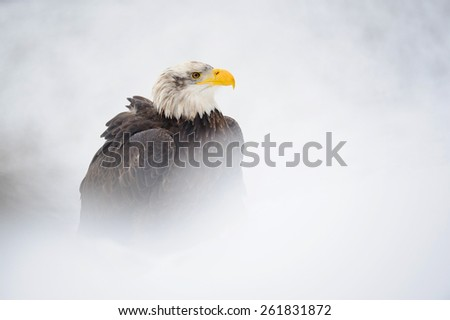 Bald eagle portrait in winter with snow around - stock photo