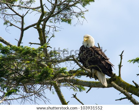 Bald Eagle poses for the camera in Delta, BC, Canada.