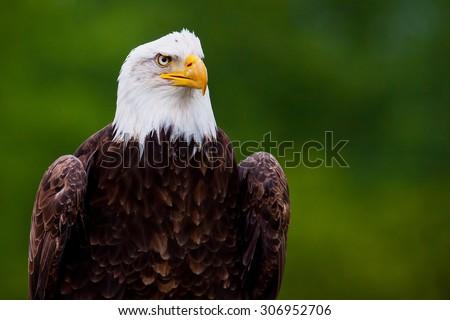 Bald Eagle Profile - stock photo