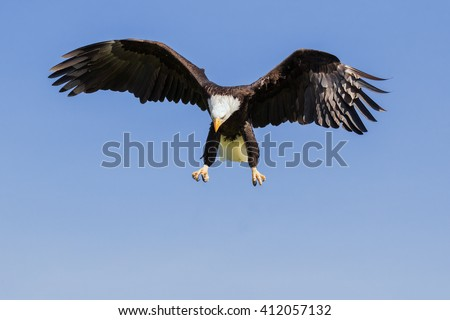 Bald Eagle ready to pounce. A majestic bald eagle keeps its eye on the ground as it prepares to descend. - stock photo