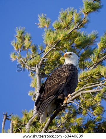 bald eagle scans its territory while perched in a pine tree; blue sky background - stock photo