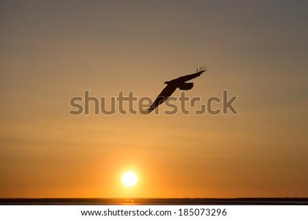 Bald Eagle soaring at sunset - stock photo