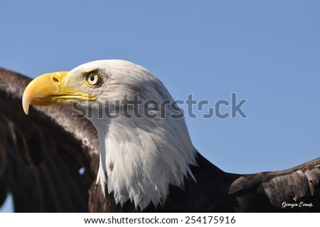 Bald eagle spreads his wings to take flight into blue sky of Colorado - stock photo