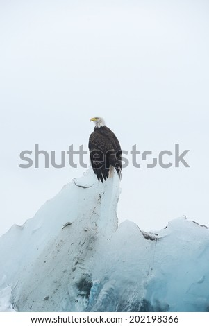 bald eagle stand on top of blue iceberg - stock photo