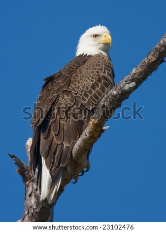 Bald eagle standing on a branch and looking.