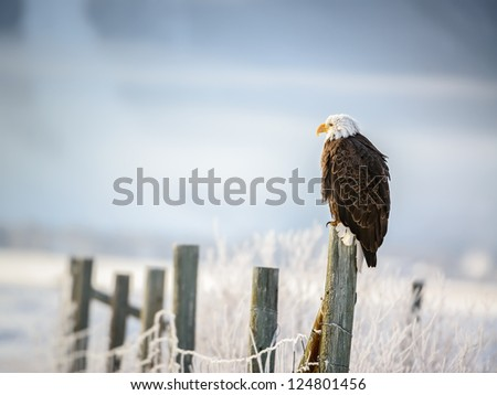 Bald Eagle standing on a fence, Grand Teton National Park, Wyoming