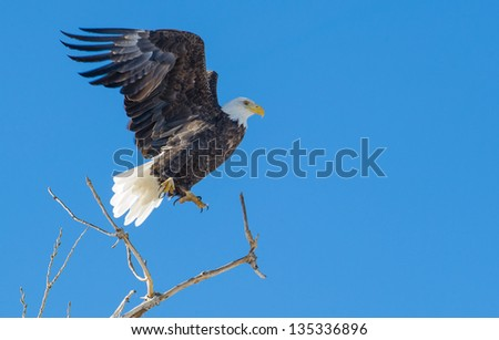Bald eagle taking off from a cottonwood tree at Rocky Mountain Arsenal National Wildlife Refuge in Commerce City, Colorado - stock photo