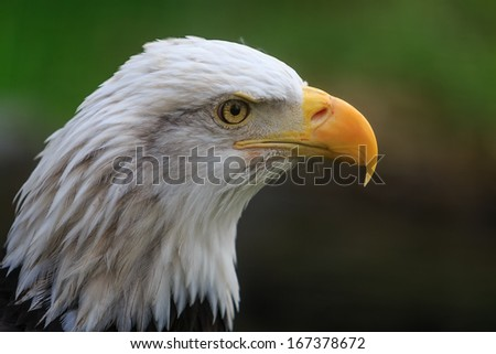 bald eagle very close up