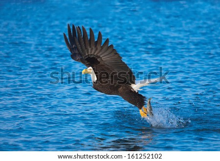 Bald Eagle with fish in talons, Alaska - stock photo