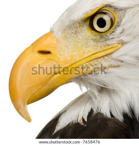 Bald Eagle (22 years) - Haliaeetus leucocephalus in front of a white background - stock photo