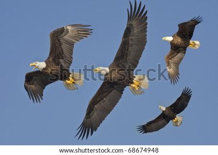 Bald Eagles in flight. Latin name - Haliaeetus leococephalus. - stock photo