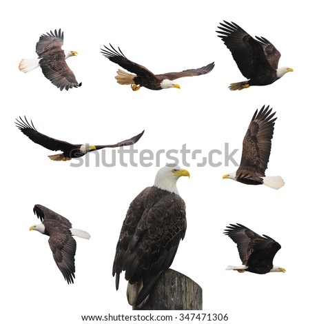 Bald eagles isolated on the white background. - stock photo