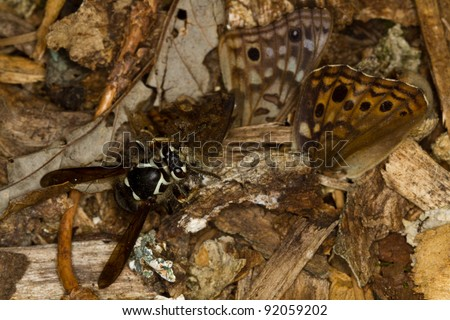 Bald-faced Hornet attacking and  eating a Hackberry Emperor Butterfly