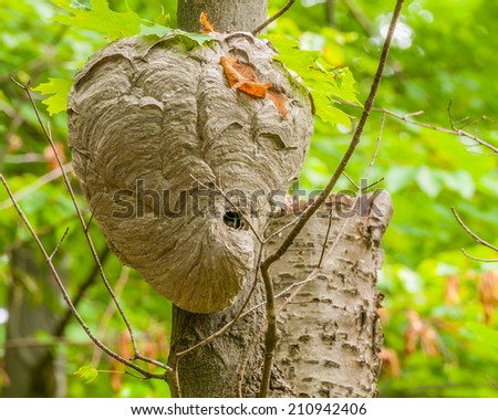 Bald-faced Hornets Hive hanging from a tree branch in the woods. - stock photo