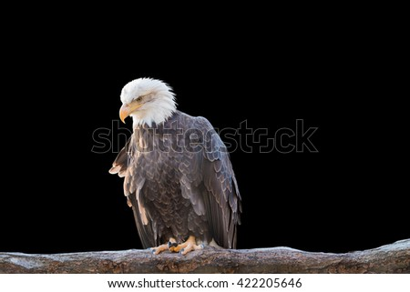 Bald feral eagle perched on a dry branch isolated on black background. Object with clipping path. - stock photo
